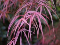 Linearlobum Japanese maple