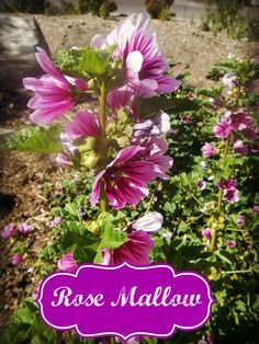 Rose mallow flop - Mallow in Bloom - by www.homesteadlady.com - be careful what you let grow up in your garden!