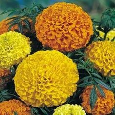 Marigold Lady Mix. Very large, carnation shaped flowers in yellow, gold, orange, and primrose. Annual flower seeds.