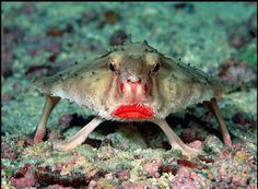 """Red-lipped Batfish - found around the Galapagos Islands at depths of 100 feet or more. Batfish are not good swimmers; they use their highly-adapted pectoral fins to """"walk"""" on the ocean floor. It eats shrimps, small fish, crabs, etc. Bizarre Animals, Unusual Animals, Rare Animals, Exotic Animals, Interesting Animals, Wild Animals, Nocturnal Animals, Ocean Creatures, Weird Creatures"""