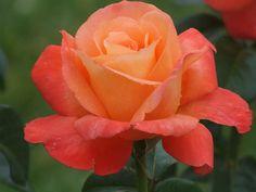 Voodoo roses, love, love, love them!!