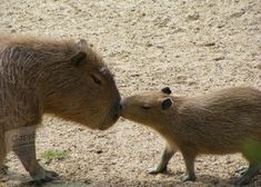 Baby Capybara, Dragon Fruit Smoothie, Dog Cafe, Rodents, Free Baby Stuff, Great Friends, Exotic Pets, Guinea Pigs, Capybara