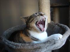 Thea chat femelle tricolore qui baille outrageusement !!!