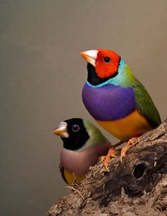 Incompatible pair of Gouldian finches, Erythrura gouldiae: black-headed female and red-headed male. Image: Sarah Pryke