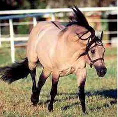Hollywood Dun It was a dun AQHA stallion.