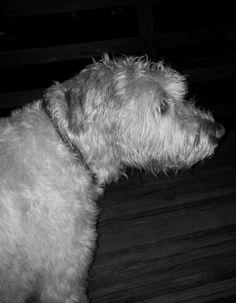 Irish Wolfhounds, Puppies, Dog Stuff, Window, Animals, Cubs, Animales, Animaux, Windows
