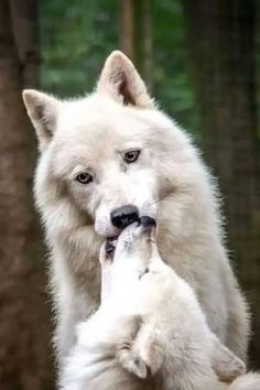 The two wolves kiss each other. It was beautiful, and the most heart moving moment in the life of the smaller Wolf forever. Wolf Husky, Wolf Pup, Wolf Spirit, My Spirit Animal, Wolf Pictures, Animal Pictures, Beautiful Creatures, Animals Beautiful, Animals And Pets