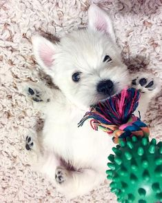 Cute Animals And Flowers + Cute Animals But Dangerous unless Cute Animals Reading those Playful Pets Harness Westies, Westie Puppies, Baby Puppies, Cute Puppies, Dogs And Puppies, Chihuahua Dogs, West Highland Terrier, West Terrier, Terrier Mix