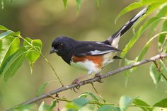 Eastern Towhee   Audubon Field Guide. It's fun to watch them rustle in the leaves for food. #easterntowhee #audubon #fieldguide