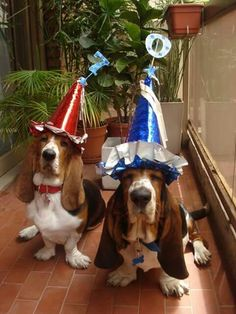 Bassets looking to have some fun