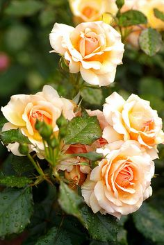 One day I'd love to have a beautiful rose garden