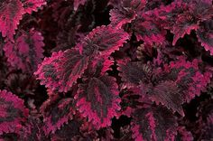 4 Reasons To Grow Coleus from Birds & Blooms Magazine