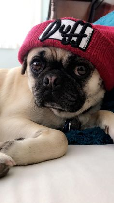 Check out our internet site for additional details on pugs. It is an exceptional location for more information. Cute Pugs, Cute Funny Animals, Funny Pugs, Teacup Pug, Pug Pictures, Pug Photos, Dog Emoji, Dog Comics, Dog Games
