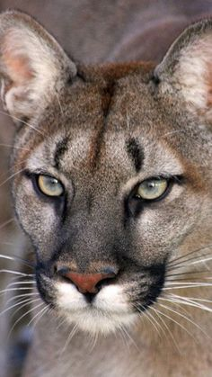 💘💘 These Cats Are  Beautiful! The American Cougar Is Incredible! 💘💘