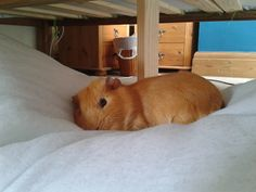 amwythig: My guinea pig wandered out of my room, and decided he would sleep on the quilt under my mums bed. I spent like half an hour looki...