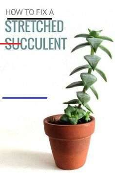 How to Fix Stretched Out Succulent Plants - #succulents - Is your succulent looking different? Is it growing tall and thin, and all stretched out? Why do succulents stretch? Learn why it happens and how to fix it....