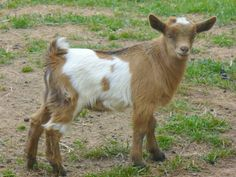 Pygmy goats!  I would love a couple of these instead of paying to get the lawn cut. Bad, bad HOA!