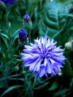 """Bachelor Buttons """"more buds"""" Bachelor Buttons, Flower Ideas, Bud, Outdoors, Garden, Flowers, Plants, Painting, Garten"""