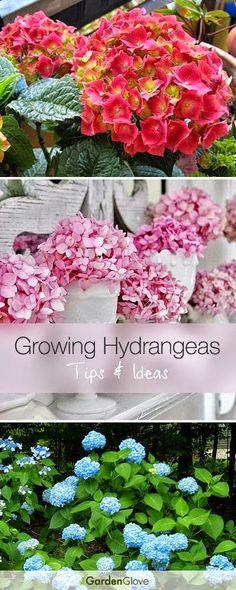 Growing Hydrangeas • Lots of Tips Ideas! #Garden_Designs #Garden_Ideas #ideas_For_Garden_Decoration #Best_Gardening_Decor_Tips #Garden_Decor