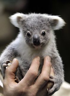 Bucket list: Holding a baby   Koala&Bear (MY bucket list ALSO...thanks for pinning!)