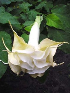 Angel Trumpet Plant, White Flowers, Beautiful Flowers, Trumpet Lily, Trumpets, Garden Plants, Hibiscus, Velvet, Lady