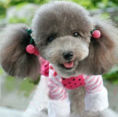 Cute Grey Poodle Grey Poodle, Dog Haircuts, Tea Cup Poodle, Dogs And Puppies, Doggies, Beautiful Dogs, Puppy Love, Best Dogs, Baby Animals