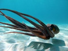 Love this picture--rarely see them swimming openly since octopus are shy and usually hiding in a crevice somewhere.