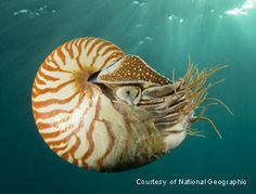 Google Image Result for http://www.nautilusdivingbali.com/wp-content/uploads/2008/11/swimming-nautilus.jpg