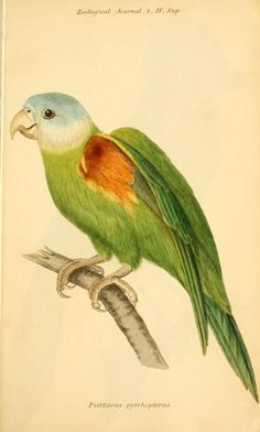 Beautiful antique bird illustration 1824-1825 - The Zoological journal. - Biodiversity Heritage Library