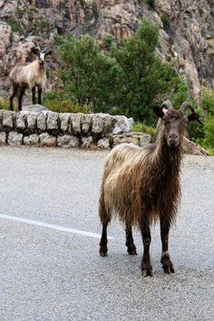 Chèvres corses  http://www.pinterest.com/adisavoiaditrev/