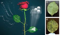 "#DailyMailUK ..... ""Researchers used the vascular systems of roses to channel circuits... Applied voltage makes ions interact, causing leaves to change color."".....  http://www.dailymail.co.uk/sciencetech/article-3327793/Get-ready-rise-CYBERPLANTS-Researchers-reveal-roses-circuits-inside-leaves-change-colour-touch-button.html#ixzz3sB0VPsPs"
