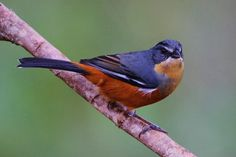 Buff-throated Warbling-finch (Poospiza lateralis) Quete