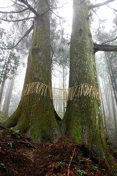 sacred sugi tree - Google Search