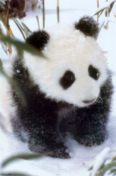 Its a little cold today! #Panda cub in the snow