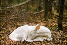 Albino White-Tailed Deer Fawn Sleeping On Forest Floor