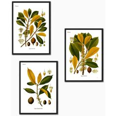 Set of 3 botanical illustration print Palaquium Gutta Burck plant tree... (77 BRL) ❤ liked on Polyvore featuring home, home decor, wall art, yellow wall art, photo tree, leaf picture, tree picture and yellow tree