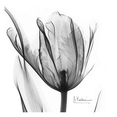 Two Tulips in Black and White Art Print at AllPosters.com