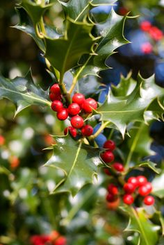 Holly Plant Fertilizer: How And When To Feed Holly Shrubs Holly Fertilization Tips ?