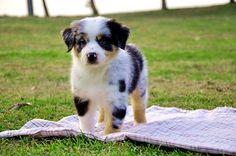 Australian #Shepherd #Puppy. #Aussie