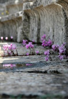 Wild Cyclamens on the steps of  Ancient Theatre of Epidaurus, Greece (by Olga Ryabova on 500p)
