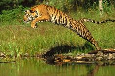 Unlike most cat species, tigers like to lounge in water and are very strong swimmers. They prefer to hunt at night and various deer species are some of their favorite prey.