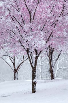 Spring Blossoms and Snow ~ just magical