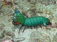 mantis shrimp essay Over 2,400 species of mantis in about 430 genera are recognized they are predominantly found in tropical regions, but some live in temperate areas.