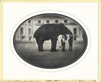 The Stupinigi Castle near Turin hosted an indian elephant named Frtiz who attracted many visitors and was portayed by famous painters of the time. He went mad and had to be shot down.
