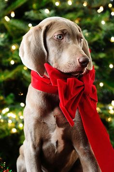 may none of your presents chew the furniture, pee on the floor, or wake you up three times a night by ChezChiens, via Flickr