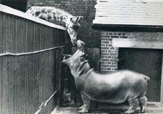 Hippo and Giraffe