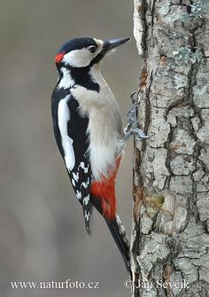 Photo of strakapoud velký Dendrocopos major Great Spotted Woodpecker Cute Birds, Pretty Birds, Beautiful Birds, Animals Beautiful, Exotic Birds, Colorful Birds, Spotted Woodpecker, Green Woodpecker, Backyard Birds