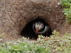 Puffin in nest burrow Inner Farne   Endless Wildlife