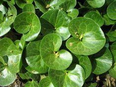 7-maravillosas-plantas-que-crecen-bajo-la-sombra-06
