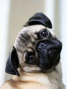 is this cute enough mom? pug head tilt